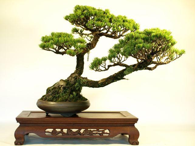 五葉松盆栽 斜幹 No.a9-28   五葉松 専門盆栽園 松風園(しょうふうえん)   50年以上の中品,大品盆栽を取り扱う盆栽ECサイトです