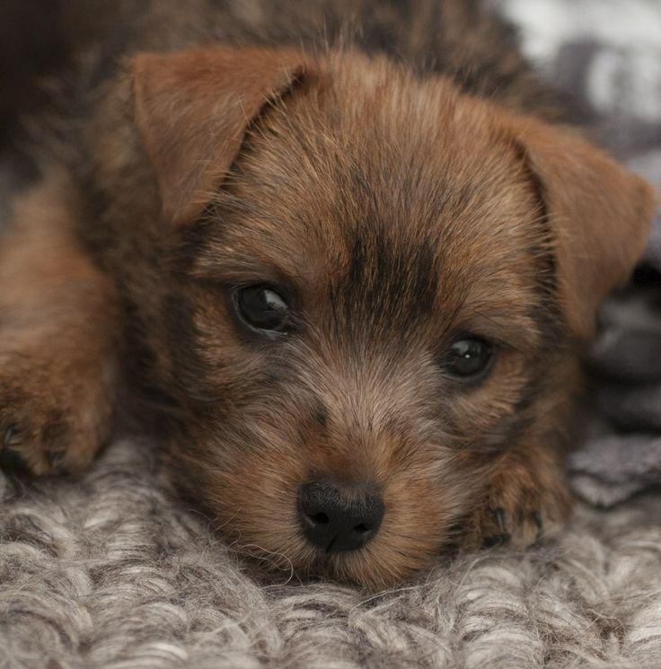 Norfolk terrier, Suske