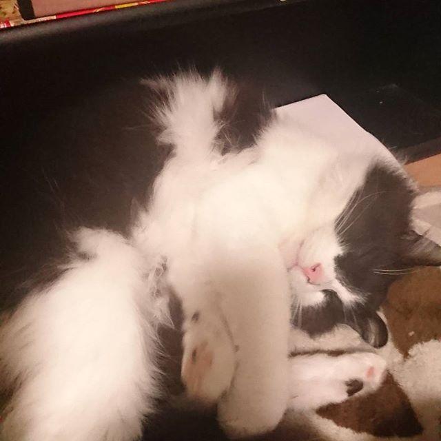 右にわベル左にわポポ なんて幸せなんやろか。 かわいいよー。  亮わ今日まるこちゃんやで! 言うてんのに え?ドラえもん?え?金曜ロードショーみてもいい? とか 意味わからん返事してくるww  #愛猫#保護猫#捨て猫#幸せ#可愛い#息子#意味わからん#返事してくる#まぁ#それも#可愛いです