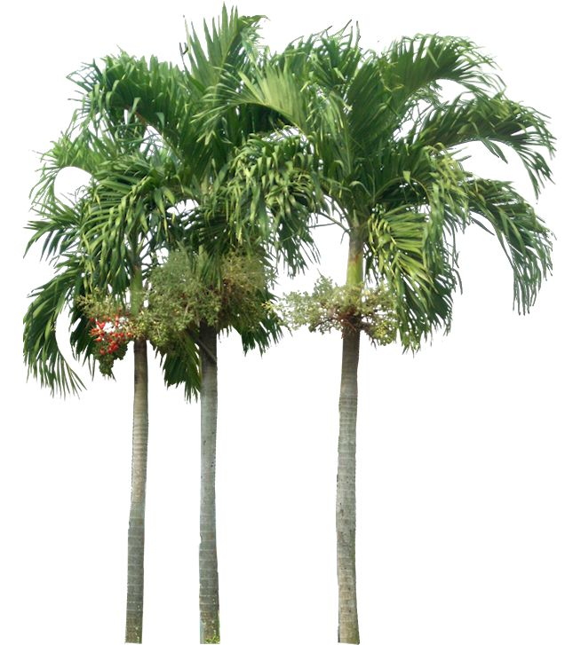 ravenea plant care with Tropical Plants Palm on Ravenea as well Knit Baby Blanket Squares Pattern moreover 119978777545385096 together with Majesty palm moreover House Plant Identifier Uk.