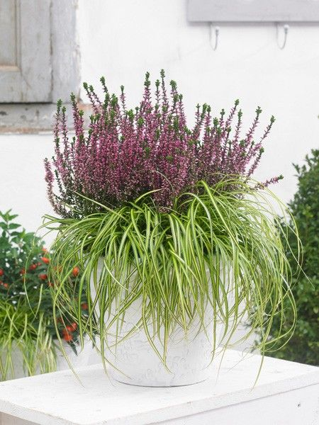 Ob getopft oder gepflanzt, die Besenheide ist im Garten eine wahre Schönheit und lässtt unser Draußen-Wohnzimmer auch im Herbst farbenfroh