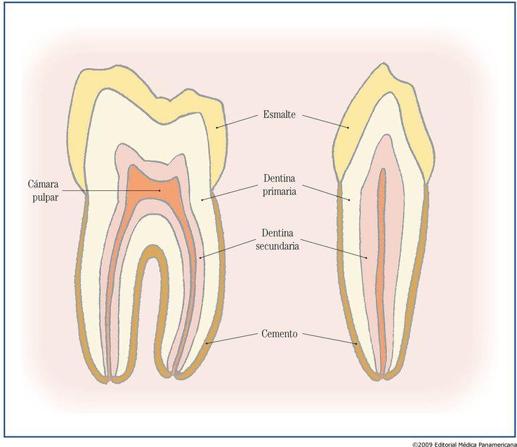 Dentina – Que es, definición, tipos, estructura