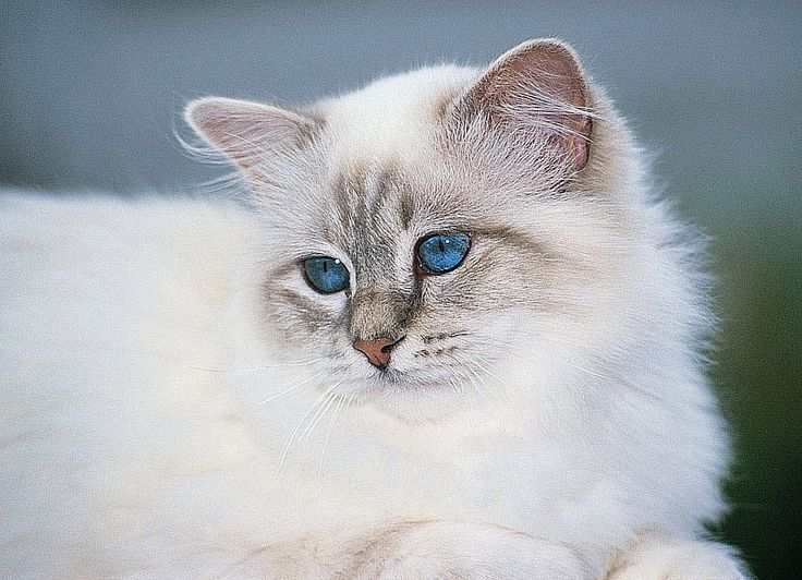 Breeding Birman kittens from CFA registered Grand Champion, regionally and national winning lines to ensure type as well as quality and temperament.