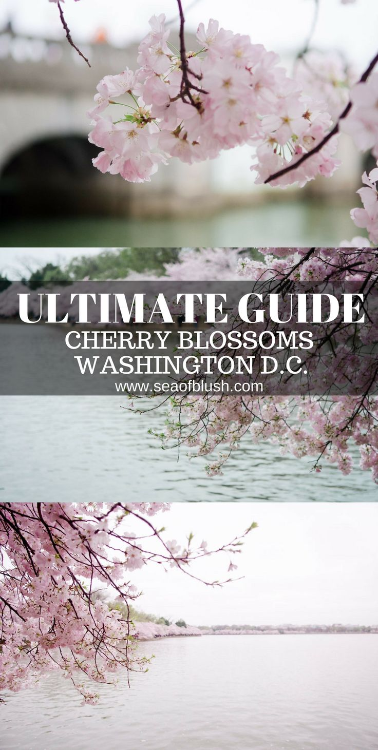The ultimate guide to seeing cherry blossoms in Washington DC!  DC weather for cherry blossoms, when is peak blooms for cherry blossoms in DC, how to get to the tidal basin for cherry, parking for dc cherry blossoms #cherryblossoms #washingtondc #unitedstates #travelgram