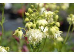"""Aquilegia vulgaris plena """" Barlow White """" - orlíček Zahradnictví Krulichovi - zahradnictví, květinářství, trvalky, skalničky, bylinky a koření"""