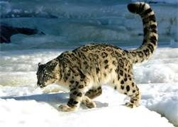 Snow leopard - Bing Images