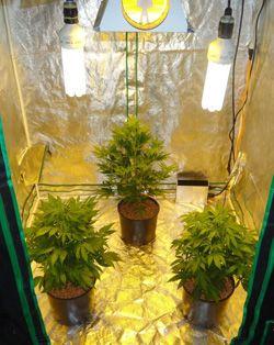 Indoor Growing Tent Marijuana Seeds & 17 best Grow Tent Setups images on Pinterest | Grow tent ...