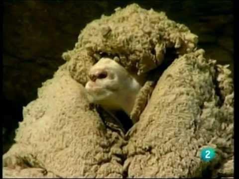 Shrek, la oveja más famosa de Nueva Zelanda