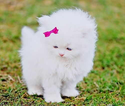 White fluffy kitten with a bow <3