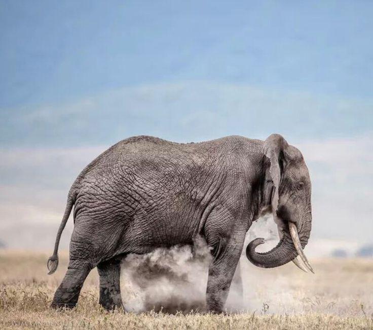 De olifant geeft zichzelf een douche van zand