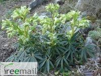 Helleborus foetidus (Atlanti örökzöld hunyor) 15-20 cm konténeres, K1   Helleborus foetidus (Atlanti örökzöld hunyor) - ismertető  Körülbelül 80 cm magasra növő örökzöld évelő, mely Nyugat-Európában, Nagy –Britanniától, Franciaországon és Spanyolországon keresztül egészen Portugáliáig honos. Ez a mészkedvelő hunyor, lehajló, kehely alakú, sárgászöld virágaival nagyon feltűnő látványt jelentenek tél végén és kora tavasszal, amikor még hiányoznak a színek a tájból. A virágai sziromleveleinek…