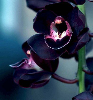 OMG a black orchid! Or near-black.    I have a weakness for black plants. I must have one of these! It is Cymbidium Kiwi Midnight.