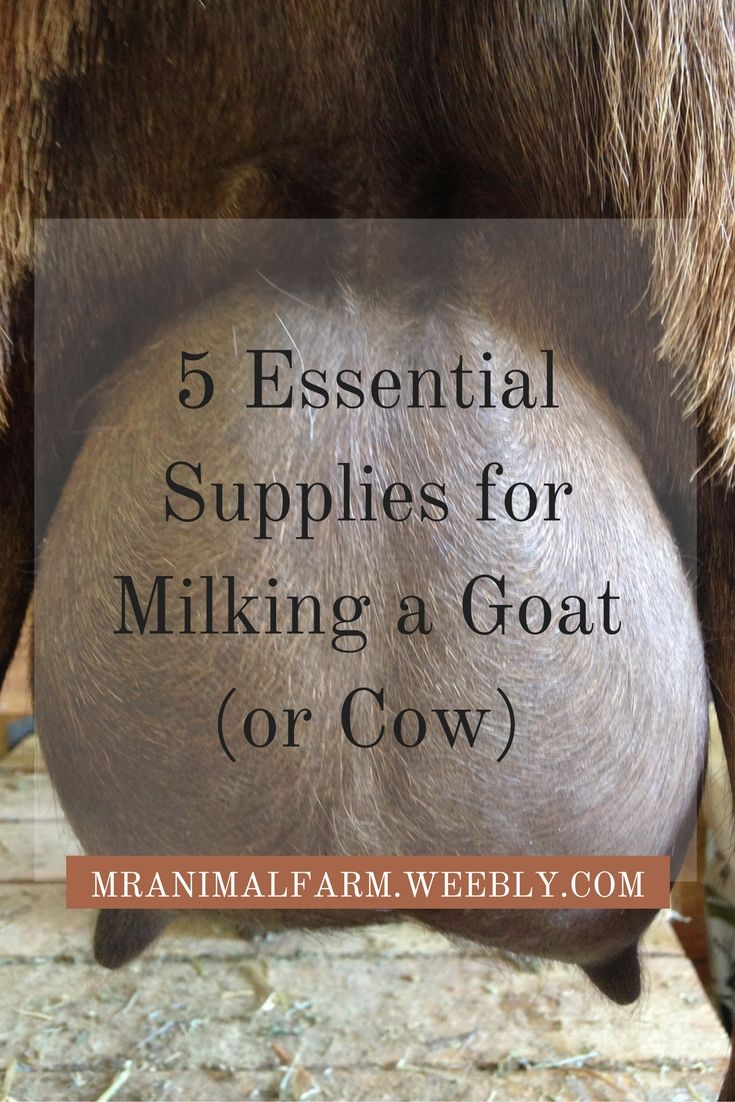 Find out the 5 Essential Supplies you will need when hand milking a goat (or cow).