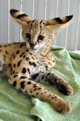 The serval is a medium sized cat. It is a strong yet slender animal, with long legs and a fairly short tail. Stock Photo - 10666166