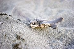 10 Fun Facts About Sea Turtles: A sea turtle's gender is determined by the temperature of the nest.