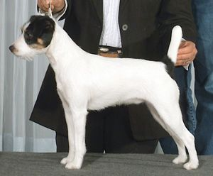 Parson Russell Terrier Growth 25+ best ideas about P...