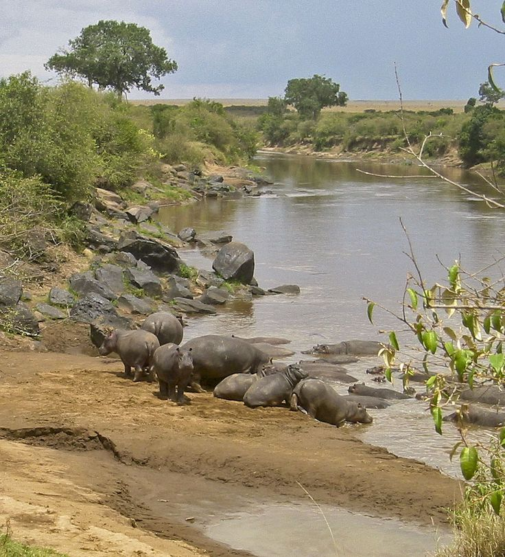 African Hippo | Hippos with their running speeds
