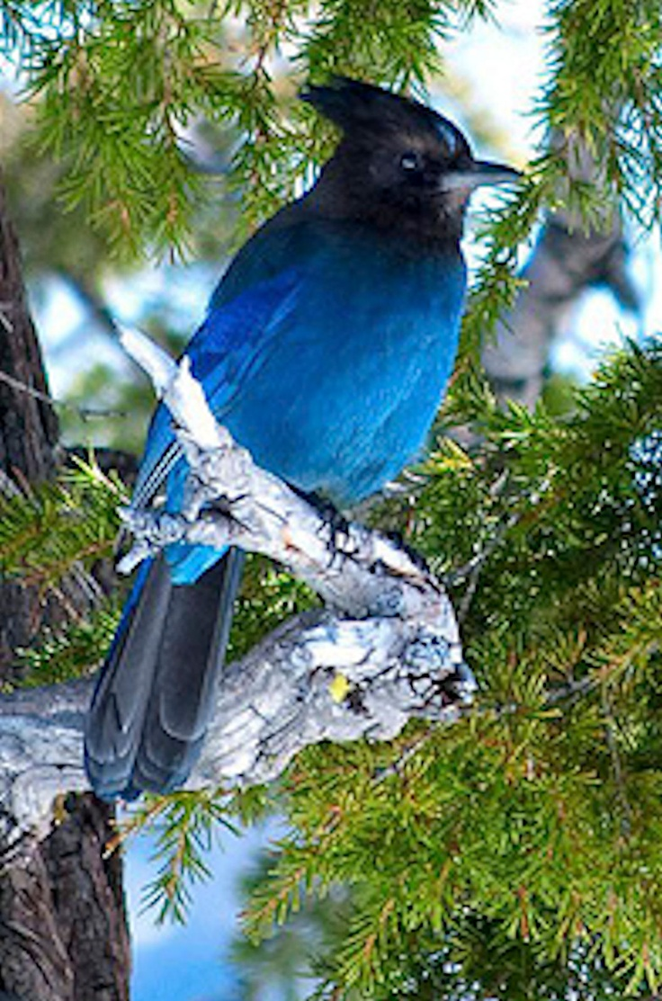 17 best birds love images on pinterest jay beautiful birds and