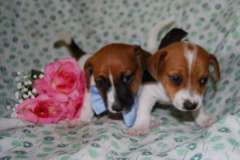 Purebred short haired Jack Russell puppies | Jack Russell Terrier puppies for sale Baradine New South Wales on pups4sale - https://www.pups4sale.com.au/dog-breed/446/Jack-Russell-Terrier.html