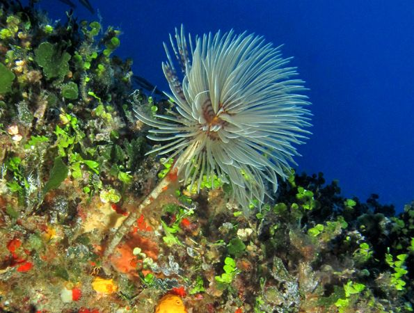 Sabella spallanzanii (Mediterranean Fan Worm), a.k.a. European Fan Worm, Feather Duster Worm & Pencil Worm. Named after 18th century biologist Lazzaro Spallanzani. It is found in nutrient-rich waters in sheltered locations & grows on soft sediments or anchors itself to rocks or other solid surfaces. Its stiff tubes are formed from hardened mucus secreted by the worm & its feeding tentacles can be retracted into the tube. Photo taken by Brian Azzopardi at 25m at Reqqa Point on Gozo's north…