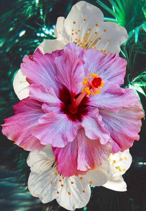 """Hibiscus- when my nephew was small, he asked the name and , thereafter, when he walked by the bush, he always said """" Hi, Biscus"""".... cute."""