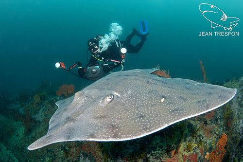 Ever wondered what animal lays the largest eggcase on ou beaches? Spearnose Skates do! https://flic.kr/p/cSMeou | Picture by Jean Tresfon