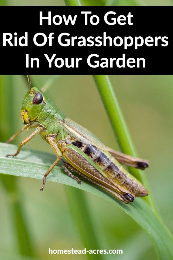 fb2e50fdc182f49d1f0f7a04aa529548 - How To Get Rid Of Grasshoppers On My Plants