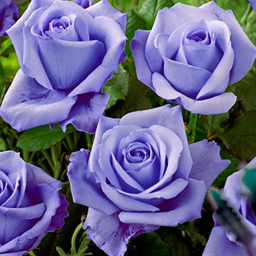 Роза чайно-гибридная Голубая - http://abekker.ru/