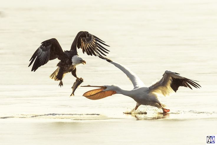 Белый Пеликан был так голоден, что она боролась с белоголовый Орлан сюда рыбу…