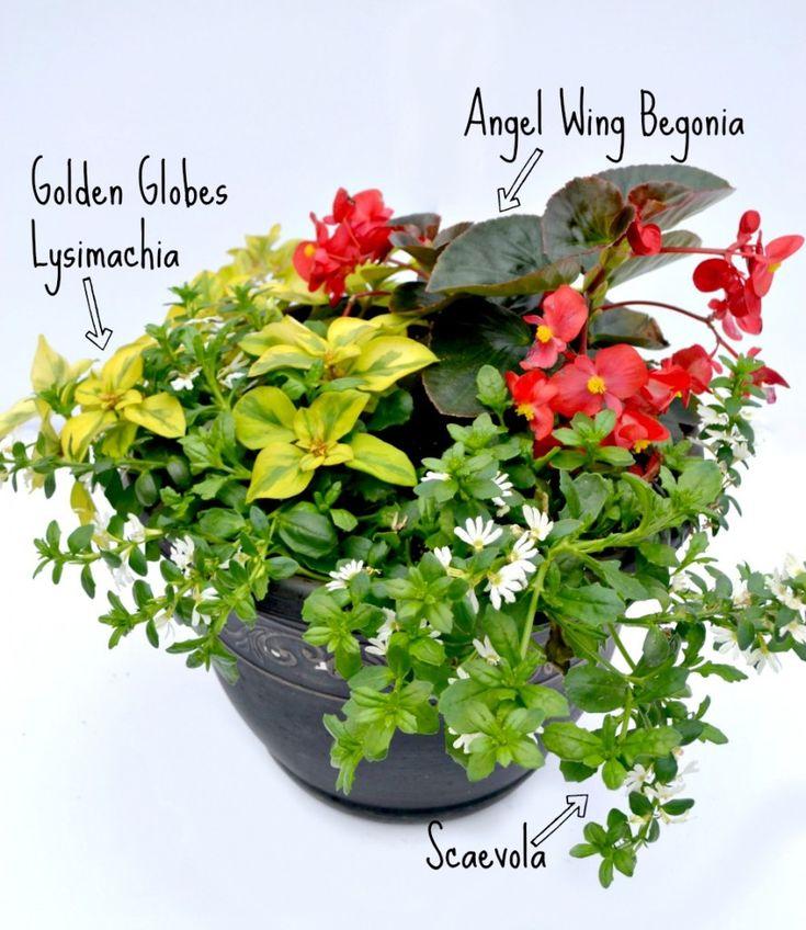 container combo scaevola begonia lysmachia basket ideashanging basketcontainer gardeninggardens