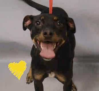 SUPER URGENT  Brooklyn  ARIEL. - A1097378. I am a spayed female black and brown manchester terr mix. The shelter thinks I am about 1 YEAR 5 MONTHS old. a OWNER SUR