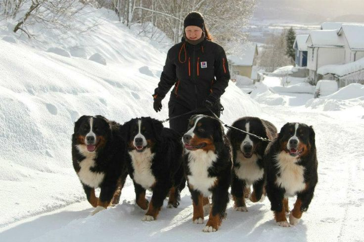 A team of Bernese Mountain Dogs - - -so beautiful!