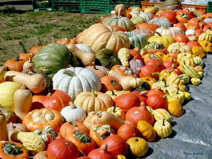 Pumpkin and squash are different, the pumpkin world is rich of types but it is a part of squash world only. And pumpkins are not just round and orange