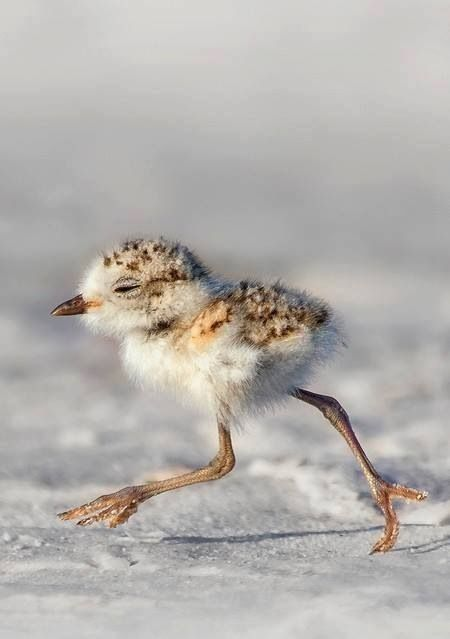 our-amazing-world:  Snowy Plover Chick Amazing World beautiful amazing