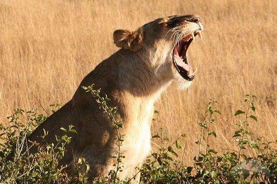 Roaring lioness | Animal Kingdom | Pinterest