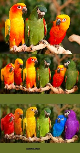 Thank you @Pete Stenhouse for this one! Fake - Very Nice Photoshop Job. He started with the image on the left with three parrots, then he added two more parrots on the left and one on the right, then he colored them. If you look close at the colored parrots, you can see traces of the original color. I included the site where the artist reveals his work.