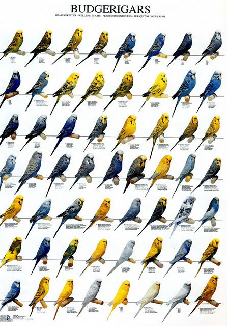 56 budgie color mutations not including albino