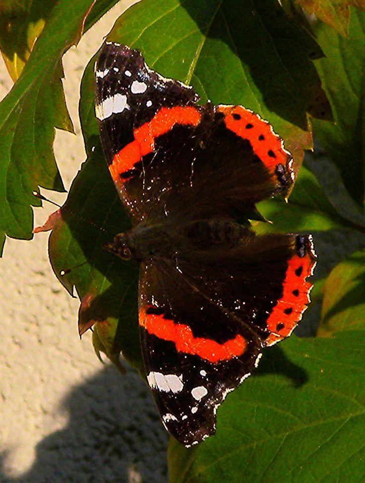 https://flic.kr/p/MBXNHR | 2016 9 30 Milano, farfalla (vanessa atalanta) | Vanessa atalanta L'atalanta (Vanessa atalanta (Linnaeus, 1758)), nota anche come Vulcano, è un lepidottero appartenente alla famiglia Ninfalidi, diffuso nelle zone temperate di Europa, Asia e Nord America. Questa grande farfalla si riconosce dal vivace disegno color marrone scuro, bianco e rosso delle sue ali, che raggiungono l'apertura media di 45–50 mm. Il bruco si nutre di foglie di ortica, mentre gli esemplari…