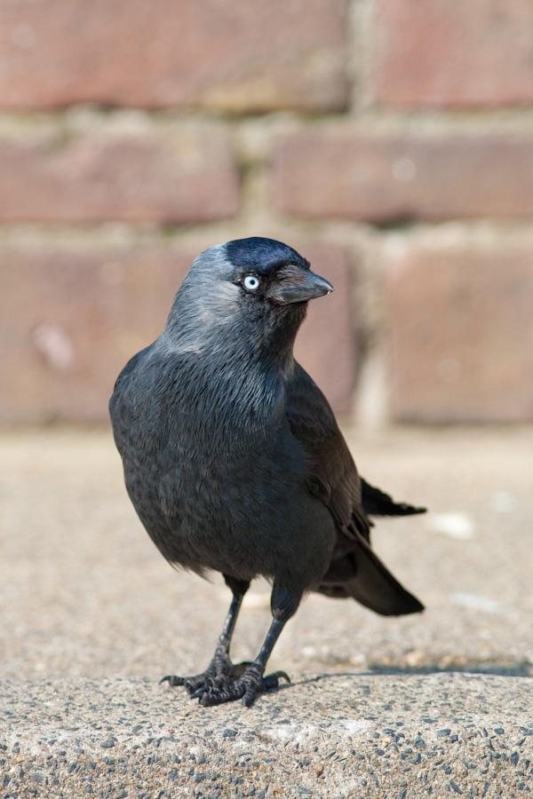 Kauw, heeft een nest in de dakgoot van de buren. Ik hoor de jongen piepen.