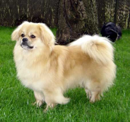 Tibetan Spaniel Tibetan Spaniel They Come In A Variety