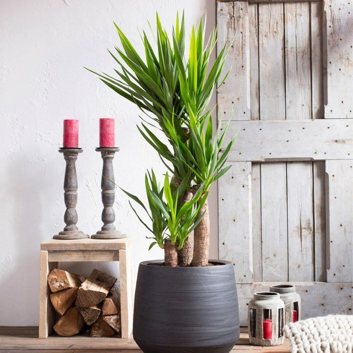 stiekem ben ik zelf ook een beetje fan geworden van de yucca plant we hebben deze groene beauty. Black Bedroom Furniture Sets. Home Design Ideas