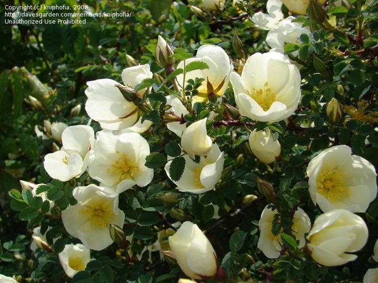 Scotch Briar, Burnet Rose, Wild Irish Rose (iRosa spinosissima/i)