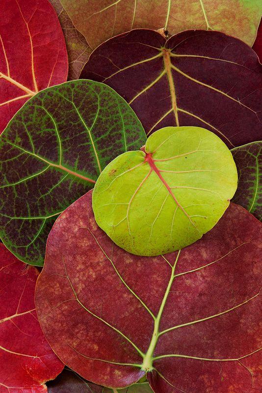Cudjoe Key, Florida - An arrangement of showy Sea Grape (Coccoloba uvifera) leaves, South Florida's fall colors. Photo © copyright by Paul Marcellini.