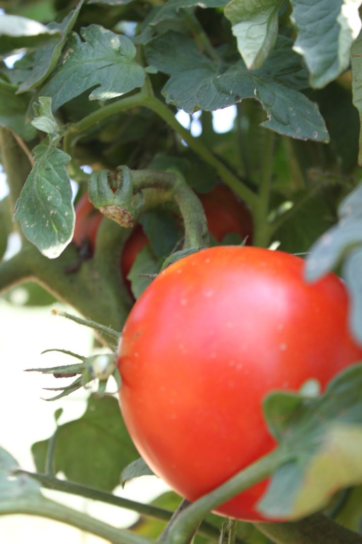 Whether you have grown a garden for years, or will be planting your first this season - chances are tomatoes are in the plan! Tomatoes are one of the most widely home-grown vegetable each year - a...