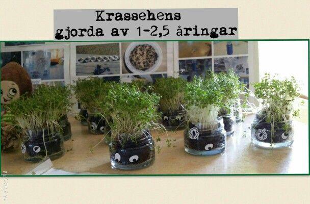 Krassehens