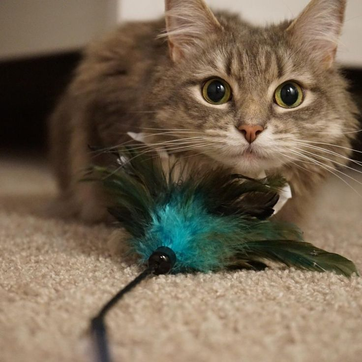 Sashimis feather toys are HER LIFE. Hard to get a photo because she will scream at you until you swish the toy again. by ProudCatLady cats kitten catsonweb cute adorable funny sleepy animals nature kitty cutie ca