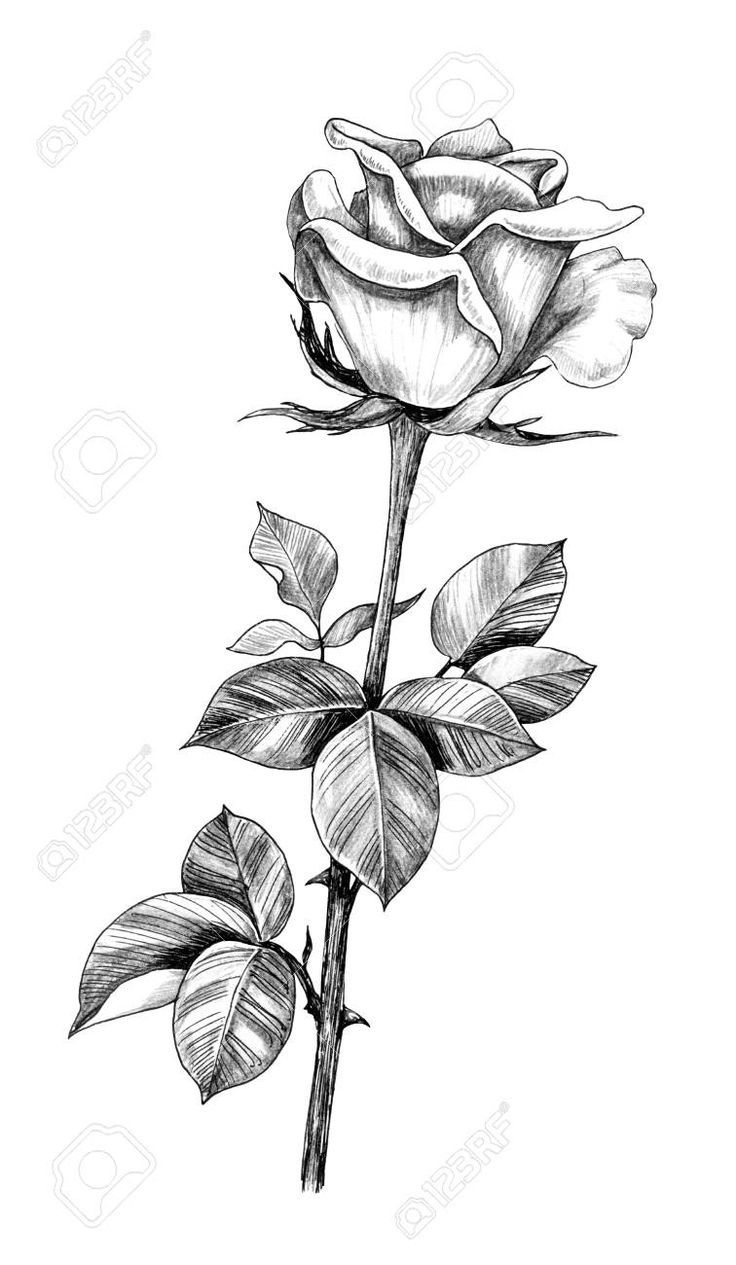 Good Cost Free Rose Drawing With Stem Popular Within This Class We Will Check Out Exactly How To Get A New Rose Havi Roses Drawing Drawings How To Draw Hands