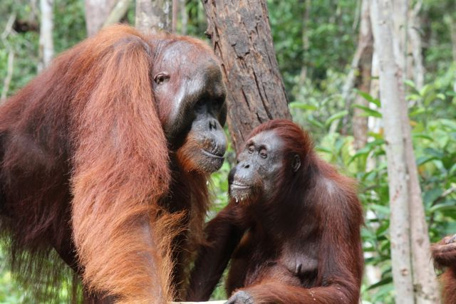 Sexual Dimorphism Is Obvious In This Male And Female Bornean Orangutan -6504