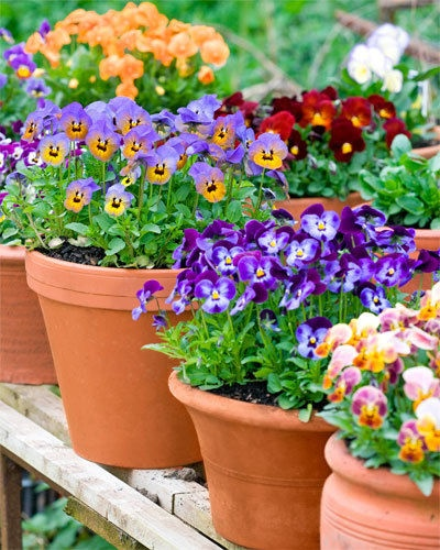 17 best images about potted pansy passion on pinterest