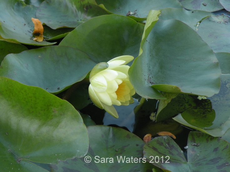 Water Lilly,  Sofiero, Southern Sweden